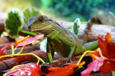 dragon water chinese reptile wildlife chinois agama lizard physignathus reptiel natuur dier hagedis fauna groen natuurlijk chemnitz cocincinus tropisch detailopname