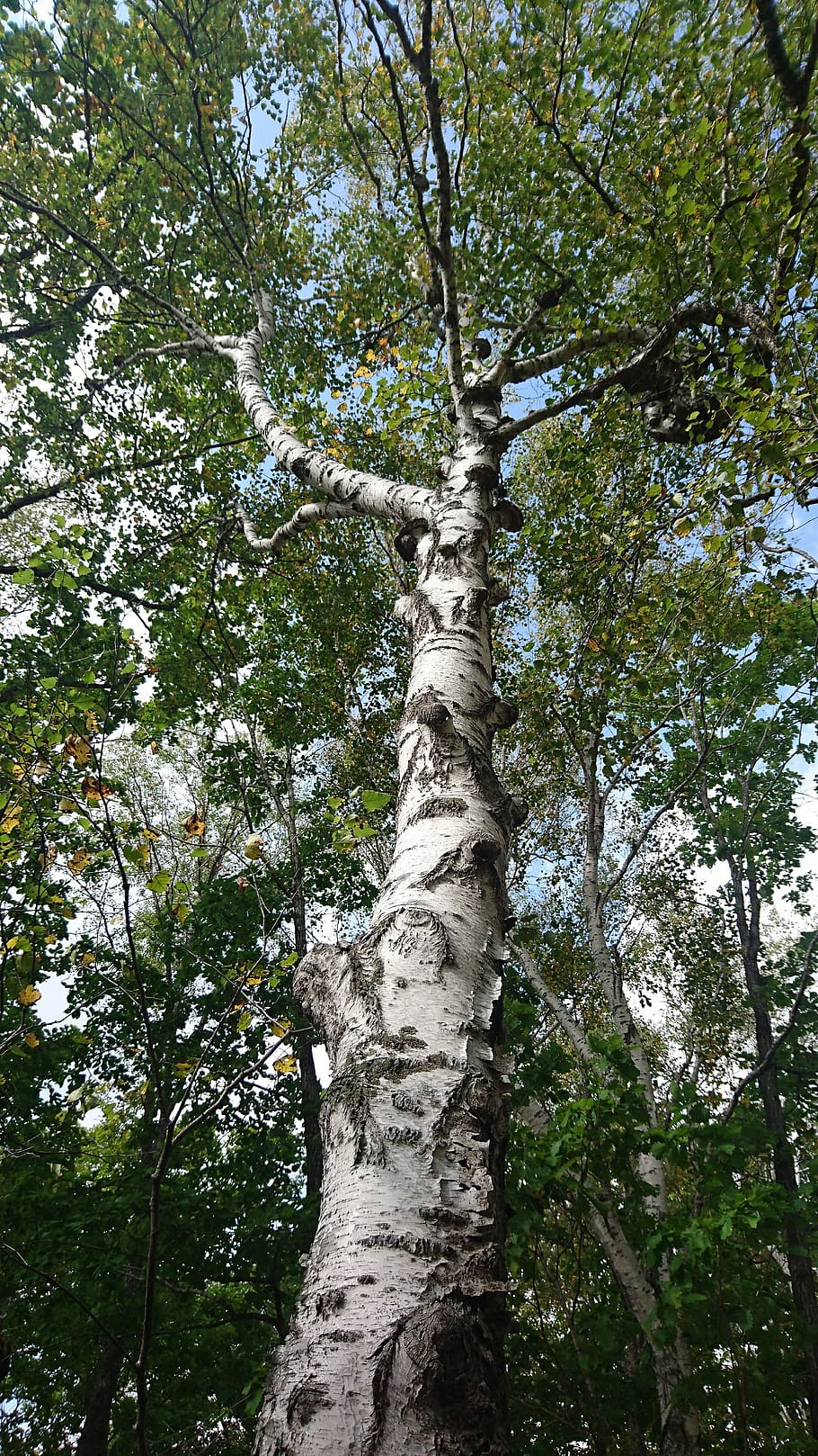 Birch Tree Trunk Wallpaper - Awesome Wallpapers