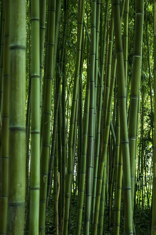 Bamboo Wallpaper Hd : bamboo, wallpaper, Wallpaper:, Green, Bamboo, Trees, Illustration,, Leaf,, Nature,, Garden,, Plant, Wallpaper, Flare