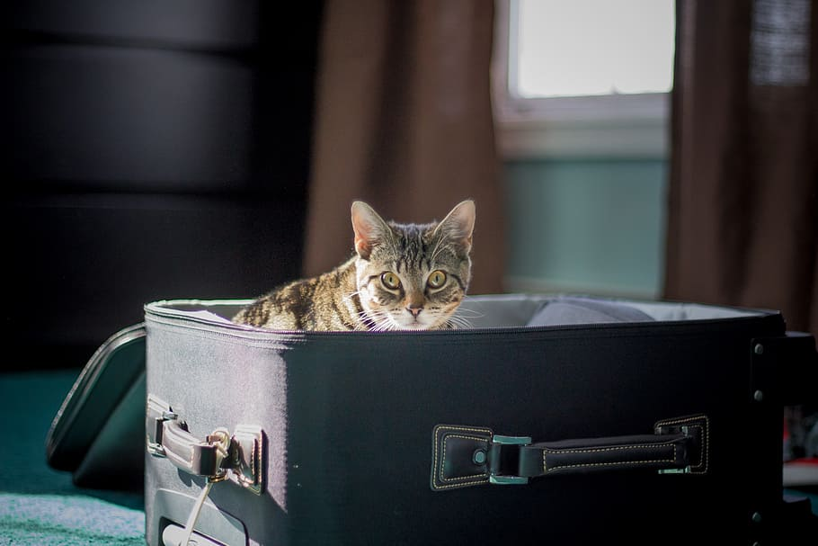 Hd Wallpaper Brown Tabby Cat On Suitcase Travel Kitten Animal Pet Vacation Wallpaper Flare