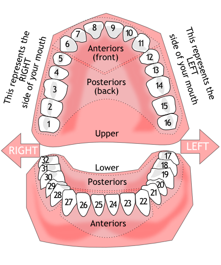 diagram of mouth with teeth numbers audi a6 c6 wiring peninsula dento facial esthetics tooth numbering click here to view and print out chart