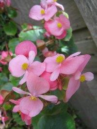 pink wax begonia free image   Peakpx