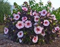How to Grow Dinner Plate Hibiscus | Proven Winners