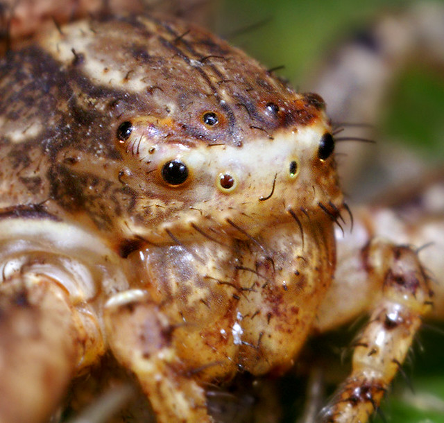 Xysticus Crab Spider Face  Not really the most attractive