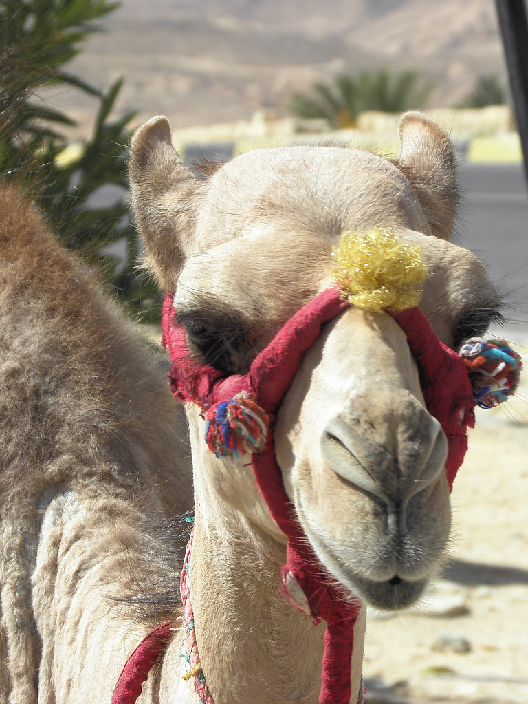 Sexy Camel A Dolled Up Camel Matmata Tunisia