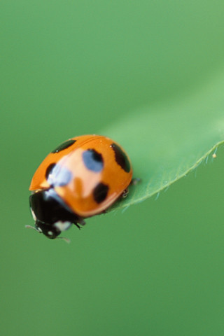 What Is The Wallpaper On The Iphone X Ladybug Iphone Wallpaper Ladybug Wallpaper From Os X