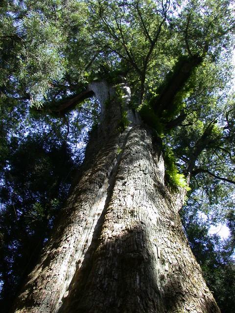 香林神木DSCN0932 | 光武檜神木︰臺灣神木排行榜第20名,紅檜,胸圍12.3公尺,樹齡2300年,位於阿里山第… | Flickr