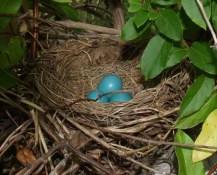 Robin - nesting