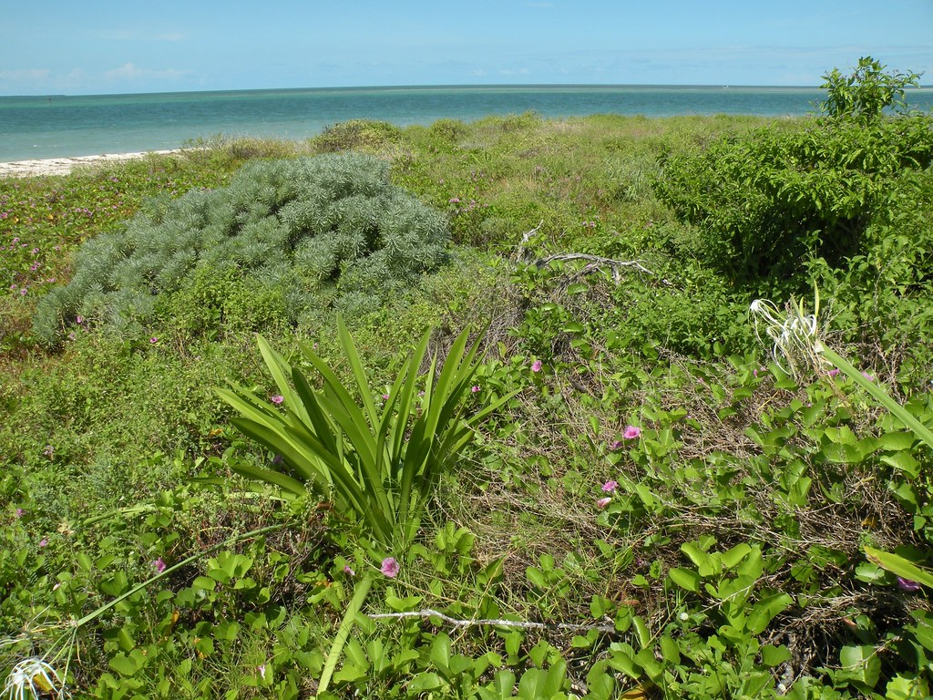 Key West NWR and native plants  Native plants grow on an
