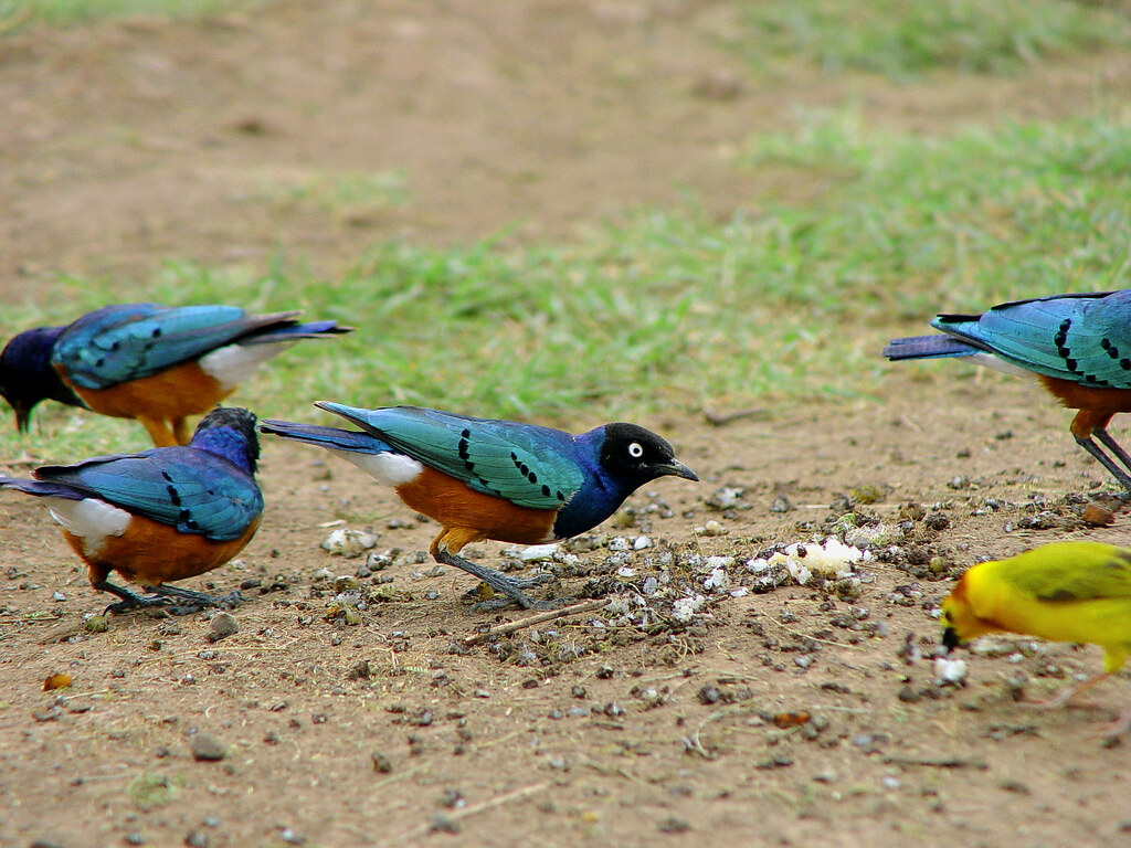 Kenyan birds  Some nice and colorful Superb Starlings