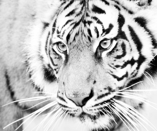 Black and White Tiger Face