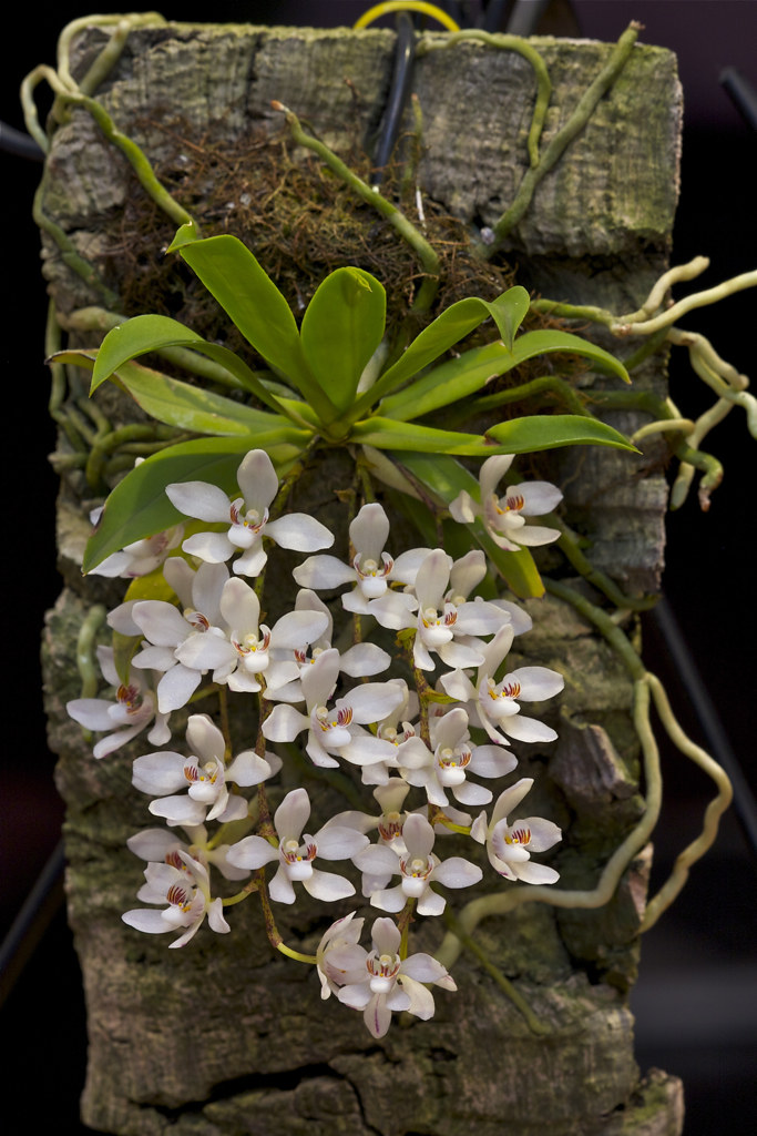 Sarcochilus Falcatus A Nice Small Flowered Form Of The