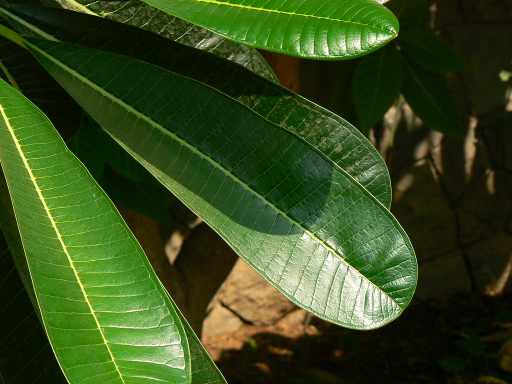 Plumeria obtusa  Apocynaceae dogbane or oleander family   Flickr