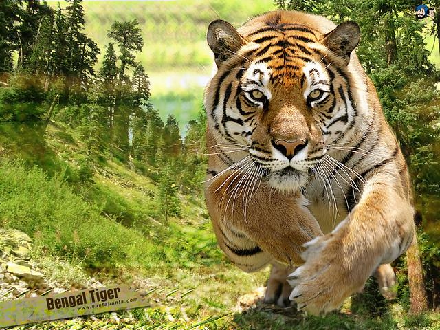 Bangla Taiger Tiger The Power Orinarman88 Flickr