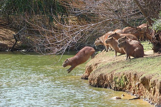 O salto da capivara  Capybara jumping  Capivara saltando n  Flickr