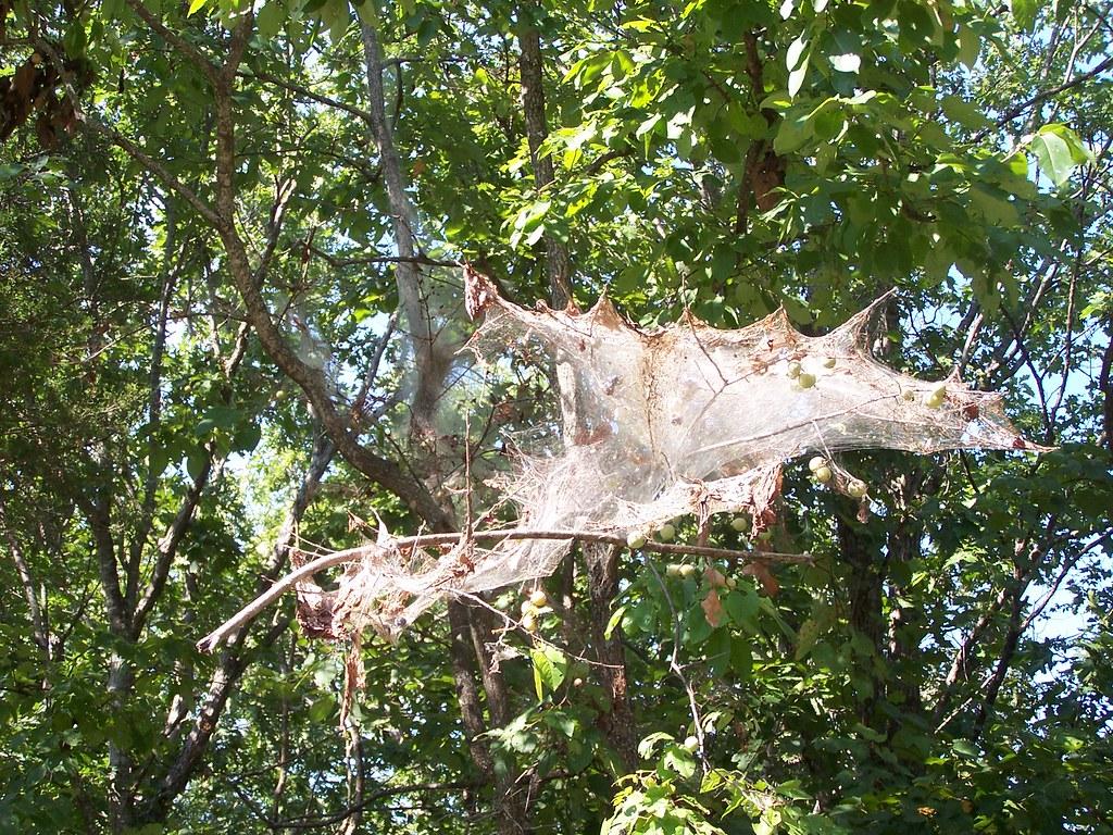 Silkworm Nest