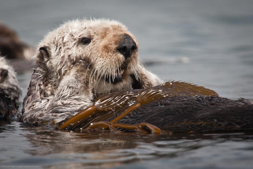 Otter Cute Wallpaper 3 Of 5 California Sea Otter Enhydra Lutris Resting In