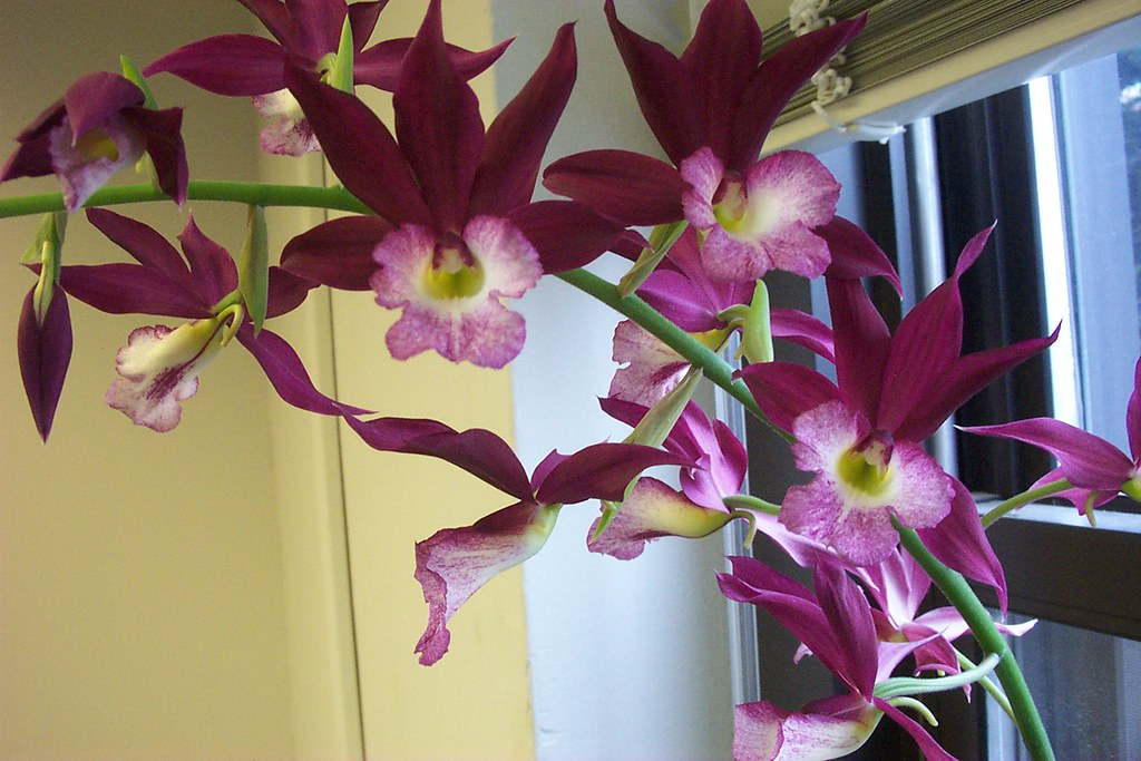Phaiocalanthe Kryptonite Chariot of Fire Calanthe Rozel