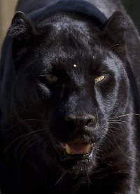 Menacing | Black Panther (Panthera Pardus) Taken on a ...