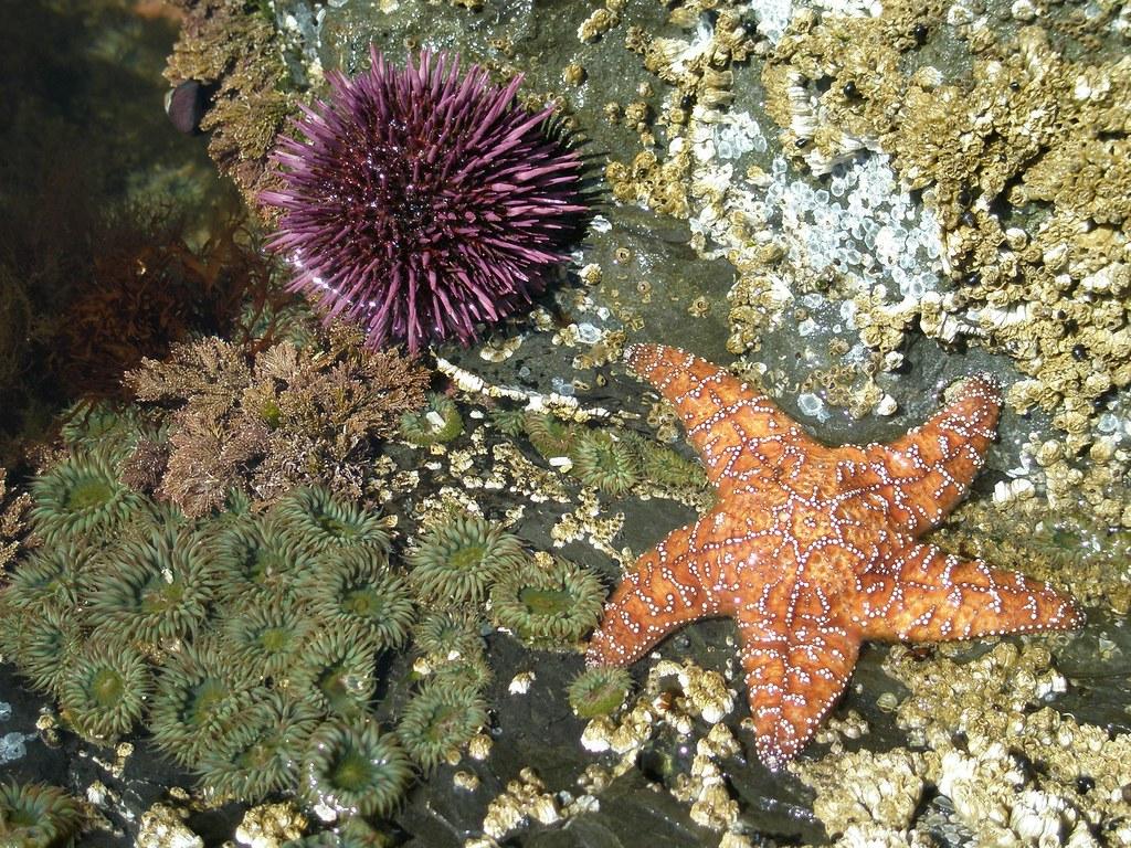 Starfish Sea Urchin Anenome Olympic Coast June 2007