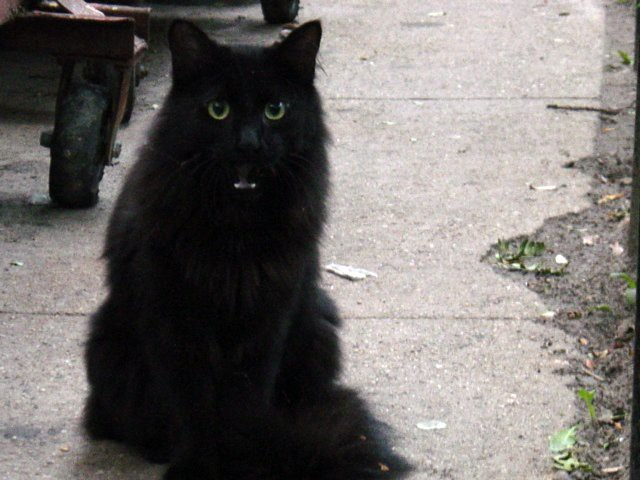 Who are you I saw this black mediumhaired cat near my