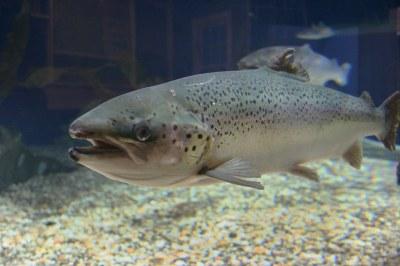 Atlantic salmon at Maritime Aquarium   See big salmon ...