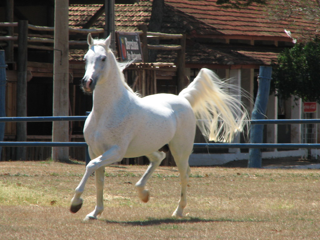 New 3d Animation Wallpaper Cavalo 225 Rabe Arabian Horse Jaib Amal Cavalo 225 Rabe
