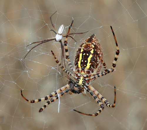 Banded Garden Spider Female And Male Flickr Photo Sharing
