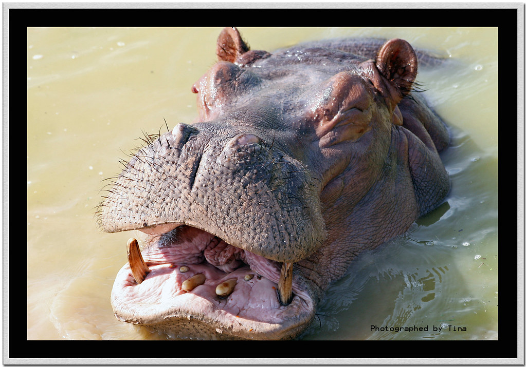 A Laughing Hippo It Looks Like This Guy Just Figured Out