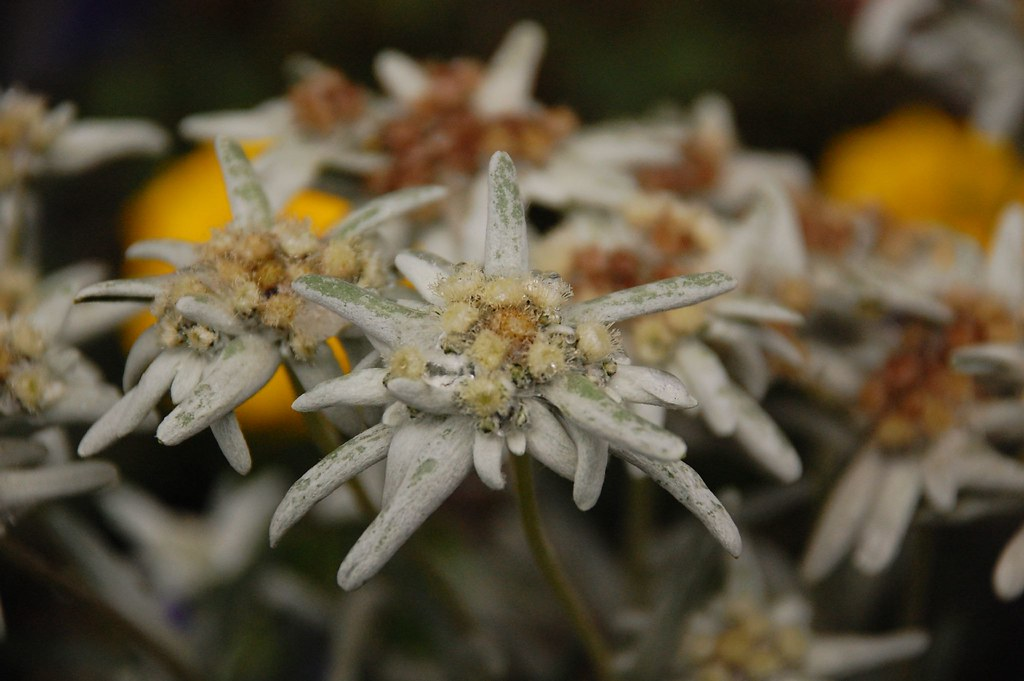 Edelweiss 小白花 | Edelweiss 薄雪草長在阿爾卑斯高山上,又叫火絨草,是瑞士的國花也是奧地利國花。電… | Flickr