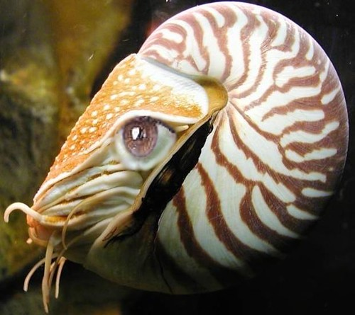 nautilus with eye  Alice Chaos  Flickr
