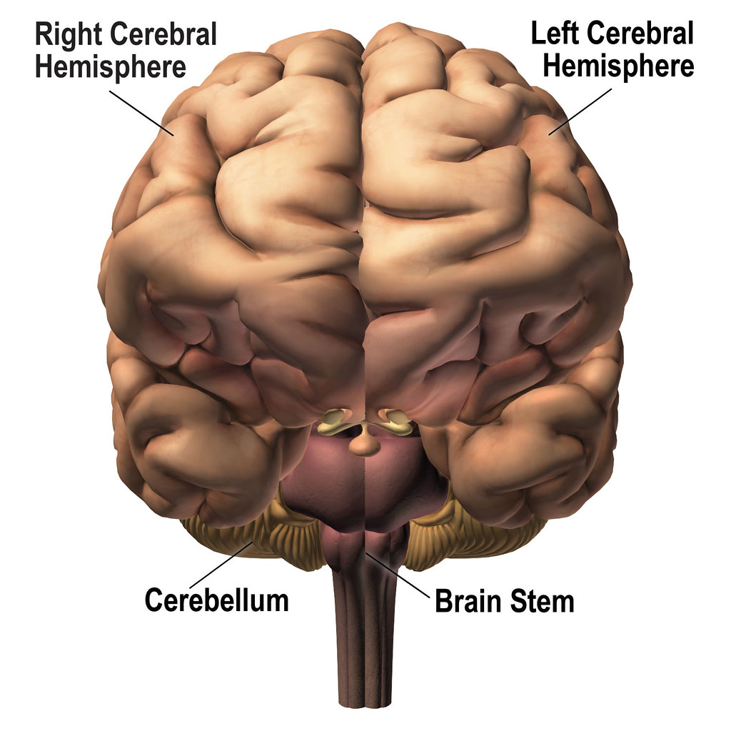 Front View Of Brain