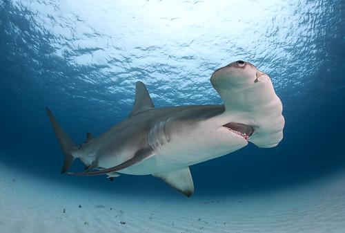 Great Hammerhead Shark  Flickr  Photo Sharing