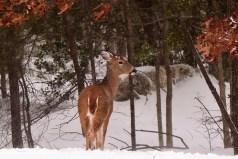 Photo of deer in snow