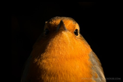 Close-up portrait of Robin (Erithacus rubecula) on a black background