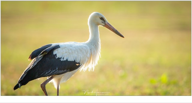 De beeldhoek van de 800mm is zo klein dat grote vogels ook wel eens te dichtbij komen. De 1:2 crop heeft voor een prettigere