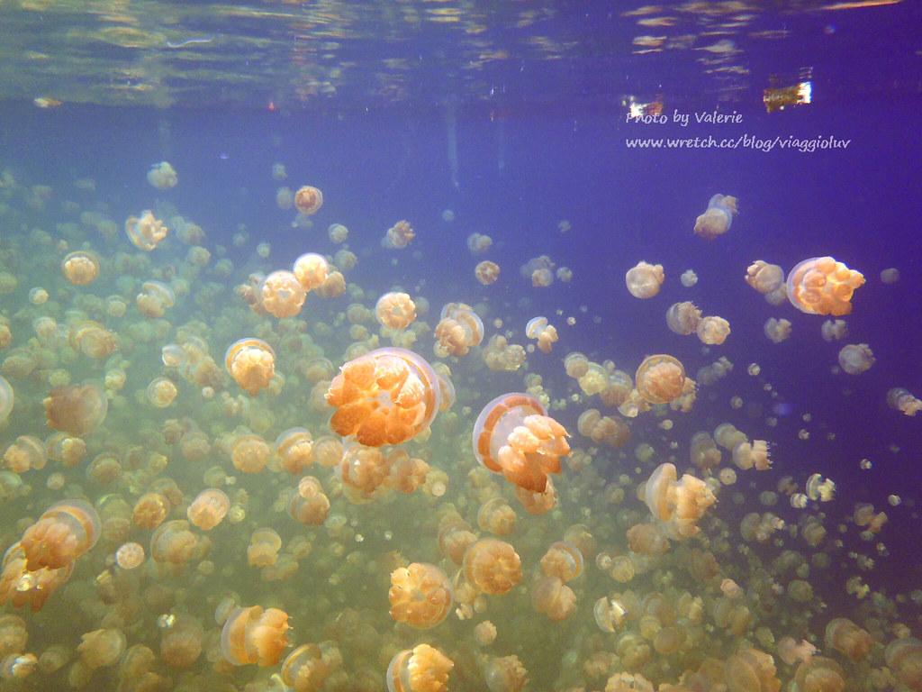 jellyfish lake,palau,帛琉,帛琉景點,帛琉浮淺,水母湖,浮潛 @薇樂莉 Love Viaggio   旅行.生活.攝影
