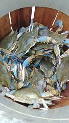 Photo of A bushel basket of nice crabs.