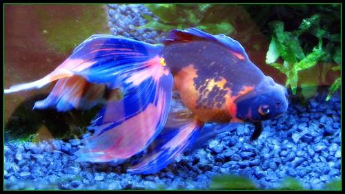 BLUE GOLDfish  Flickr  Photo Sharing