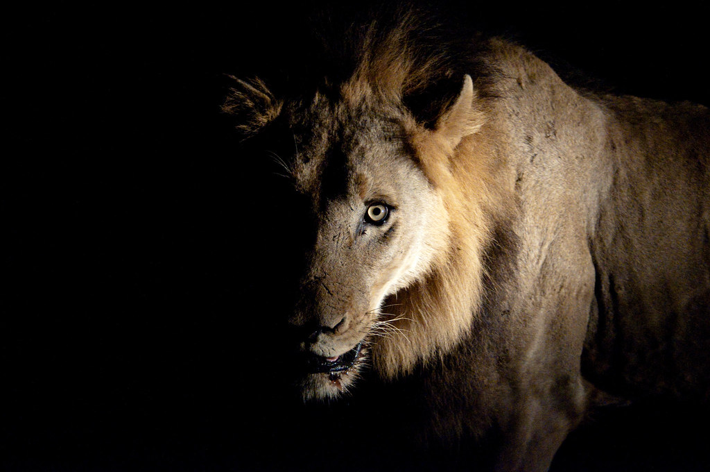 Epic Animal Wallpapers Lion In The Dark Chris Eason Flickr