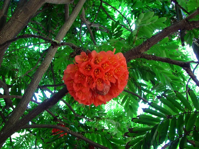 Brownea  Rose of Venezuela  Flowering tree in mt Coot