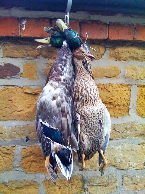 Dead ducks  My friend Sally shot these four ducks with a
