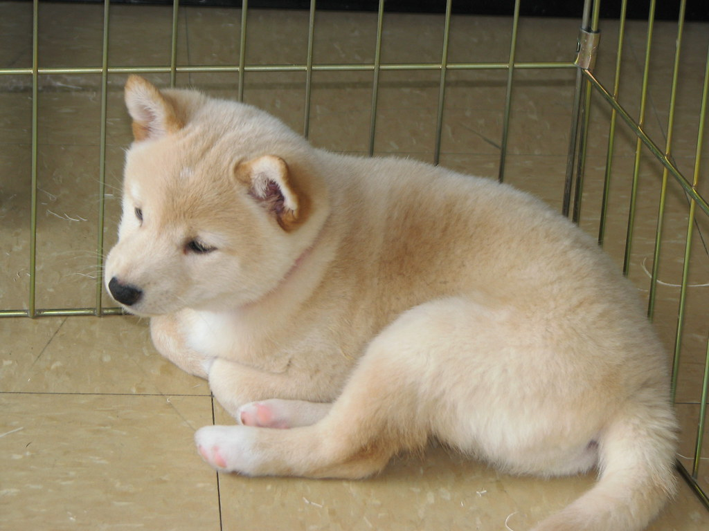Shiba Inu in pet shop  This is our first visit with the
