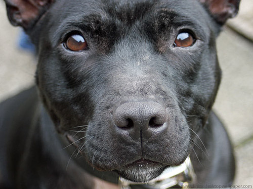 Cute Wallpapers Cute Wallpapers Staffordshire Bull Terrier Dog Gorgeous Staffordshire