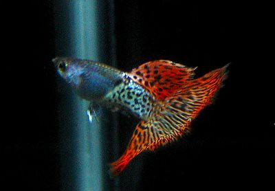 New Wallpaper Hd A Beautiful Shot Of A Metal Lace Guppy These Red Metal
