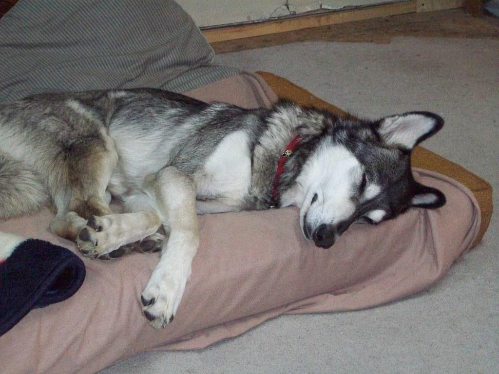 Cheyenne Is Sleeping On My Van Bed Materess White Wolf