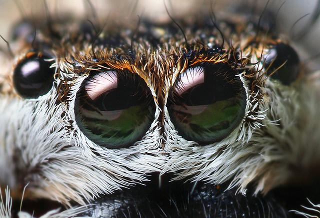 Anterior Median Eyes of a Female Platycryptus undatus Jump