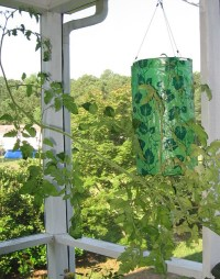 TOMATO PLANT..... | This tomato plant is hanging in a new ...