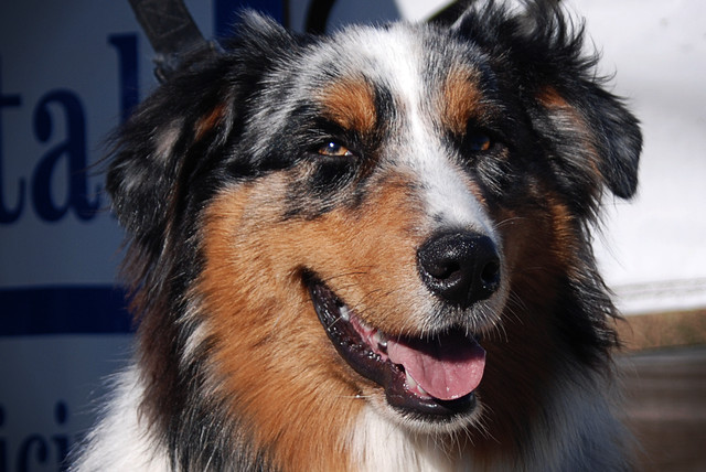 Blue Merle Australian Shepherd  11709 I met this dog at