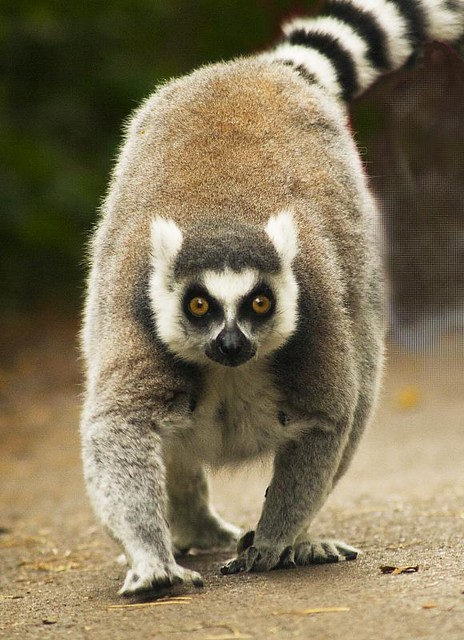 Ringtailed Lemur at Monkey World  This elderly and plump